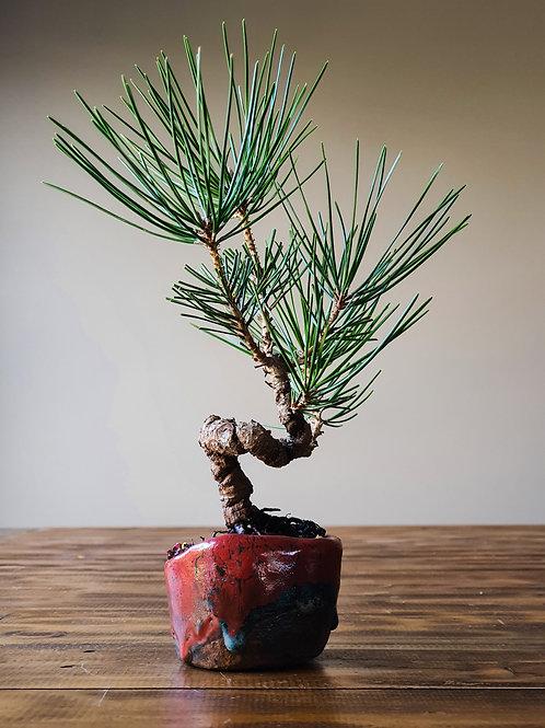 Japanese Black Pine, handmade pot #2