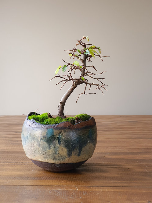 Japanese Elm #2, handmade pot