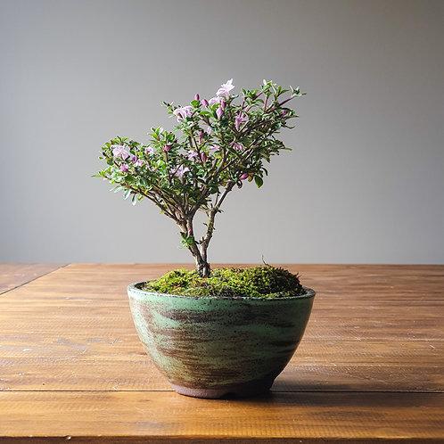 Serissa Bonsai with handmade Pot