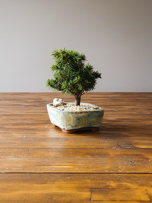 Dwarf Spruce Bonsai and handmade pot #1