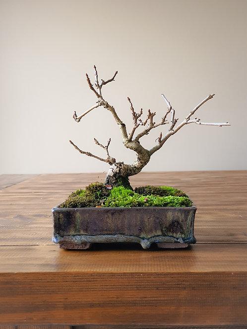 Shohin Desert Ash Bonsai in Handmade Pot
