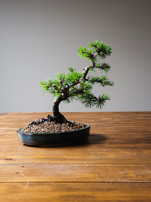 Advanced Cedar Bonsai in shallow pot