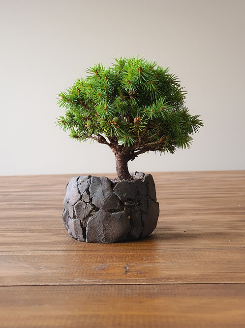 Mame Dwarf Spruce Bonsai and handmade pot