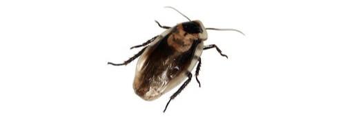 suusmaaktschoon.nl | ongedierte bestrijden | kakkerlakken bestrijden | kakkerlakken