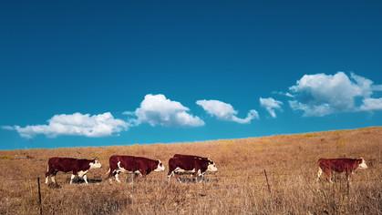 line of cows.jpg