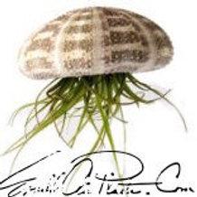 Hanging Sea Urchin w/ Airplant