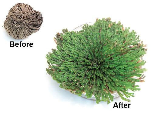 Resurrected Plant