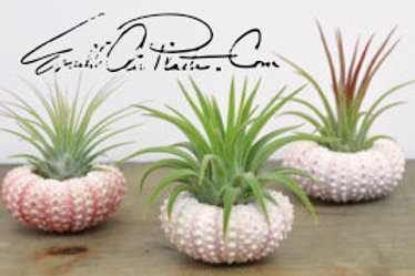Pink Urchin w/ Airplant
