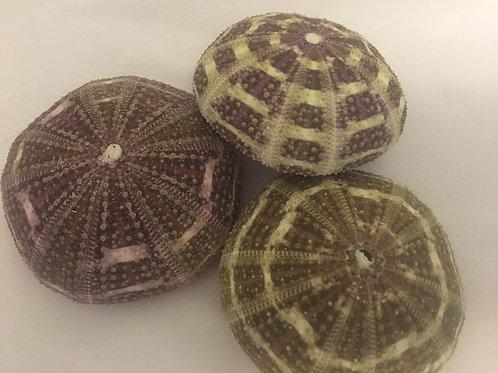 "Alfonso Sea Urchins 2 1/2 - 3 1/2"""