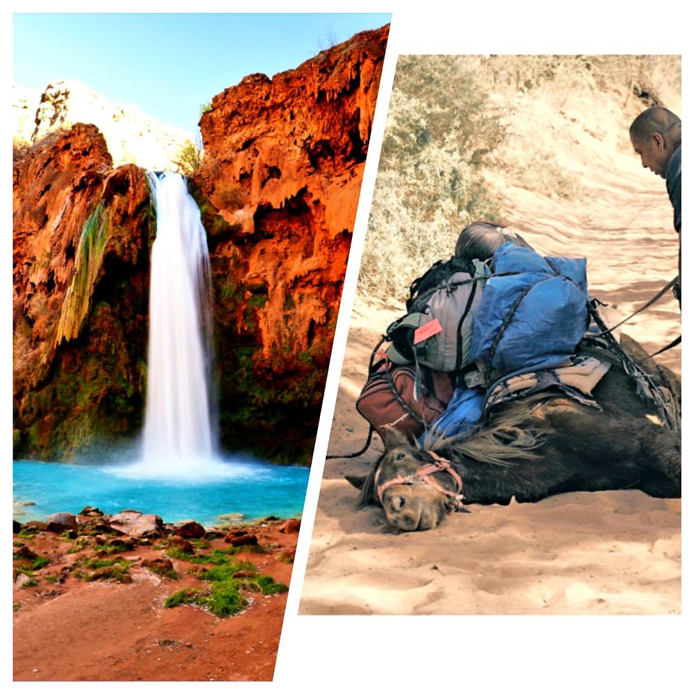 Havasu Falls, Havasupai Falls, pack mule, mule, animal abuse