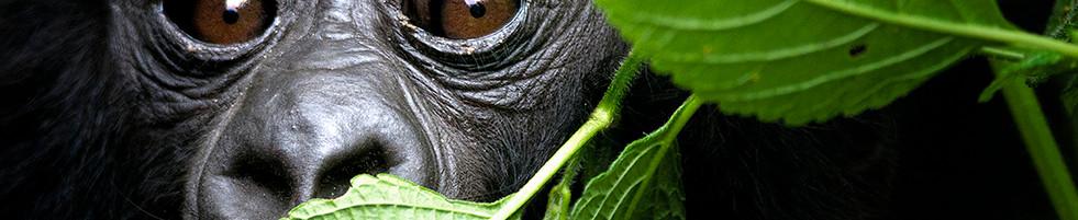 IMAGE 98 - GREEN LEAF GORILLA_cover.jpg
