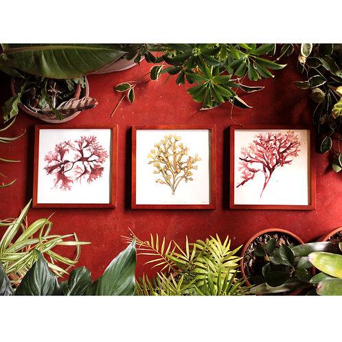 Seaweed Trio (original watercolors)