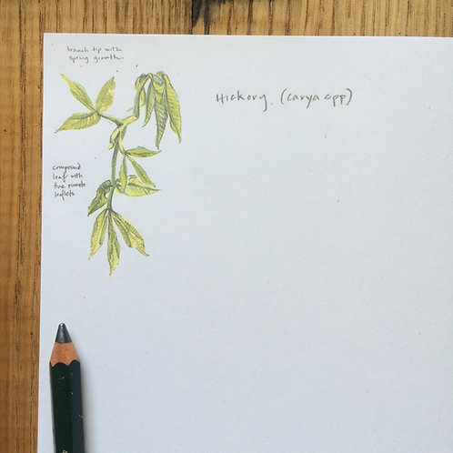 Carya (Hickory) Letter Sheets