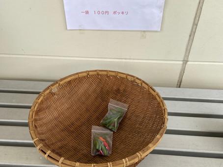 期間限定!数量限定!取れたて島とうがらし! 一袋100円です。