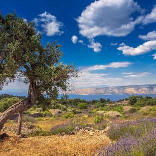 Hvar - Lavender and Olive Tree.jpg