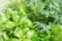 Closeup of fresh herbs. Parsley, basil,