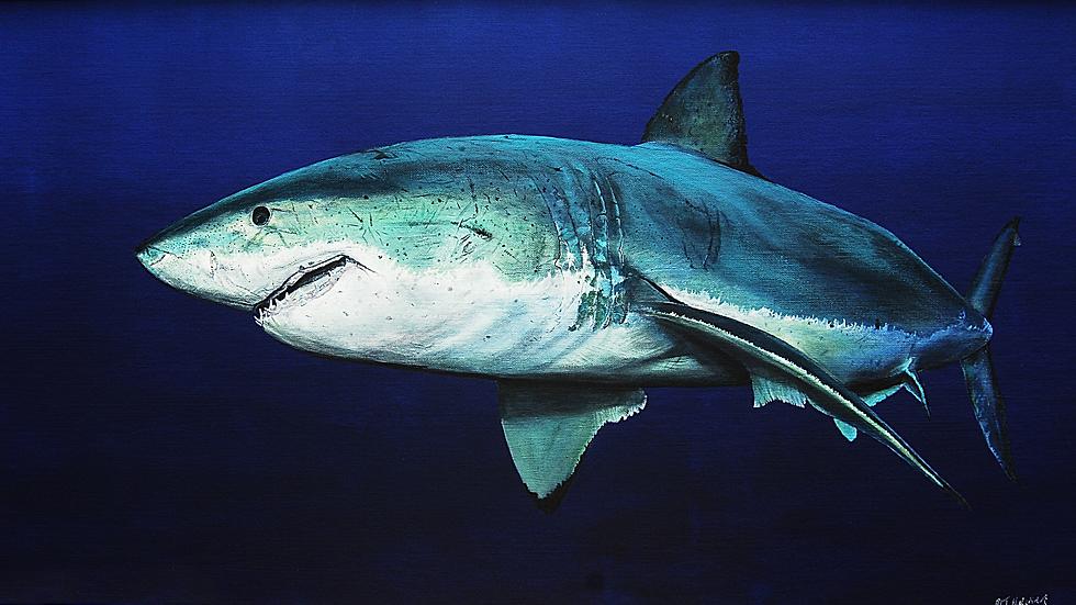 GREAT WHITE SHARK Artist Mark Taylor Hutchinson
