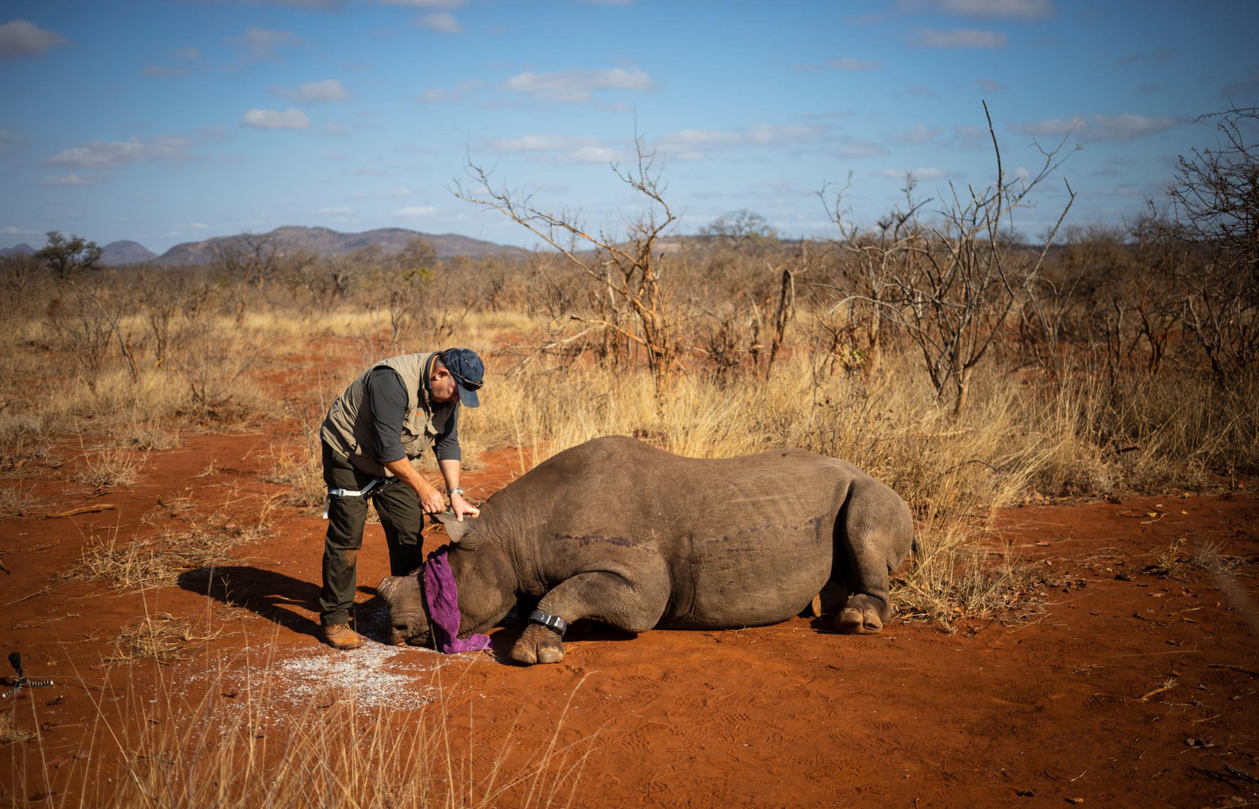 Rhino dehorning, South Africa.