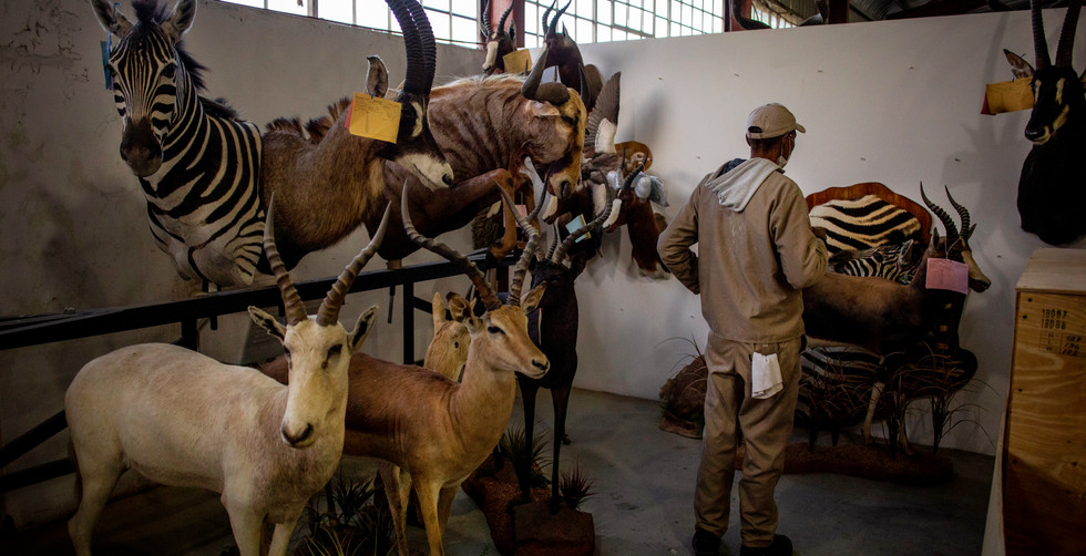 A workers stands amongst some of the stuffed animals at a local taxidermy in Graaff Reinet, South Africa, 12 June 2020. The lockdown has in effected halted the local hunting industry and one of the connected industries that has been effected is taxidermy. Many of the hunters who come the region to hunt are foreign hunters bringing in much needed foreign currency.
