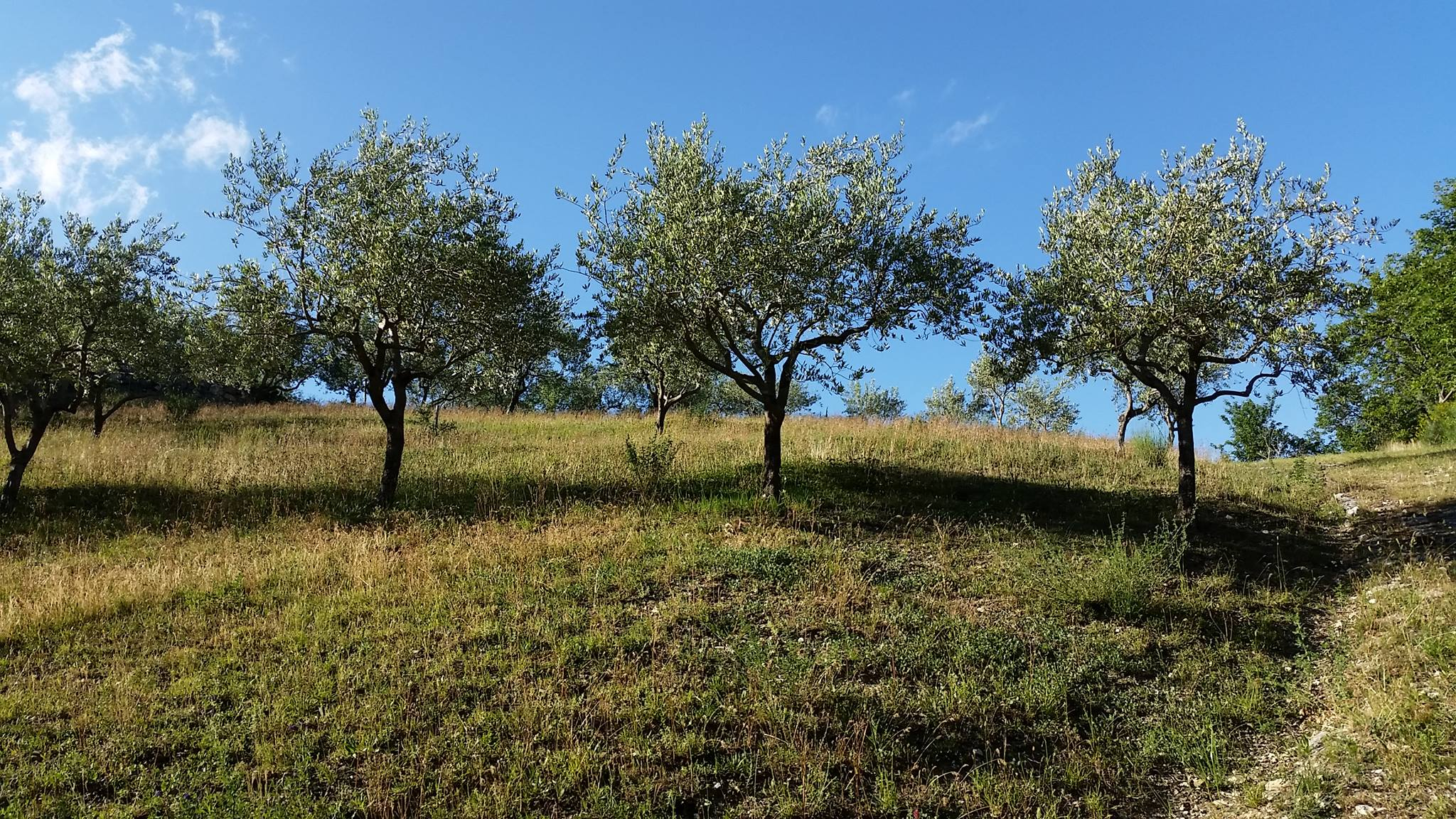 Olivenbäume im Sommer