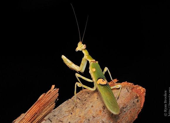 Malaysian flower mantis