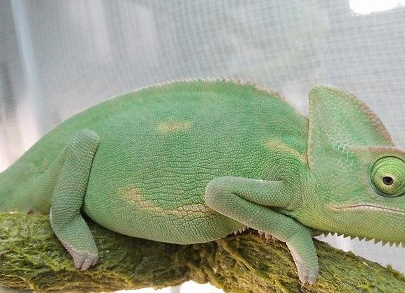 Adult Female Yemens/Veiled Chameleon
