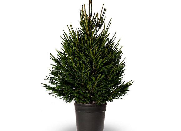 Norway Spruce Premium Potted 100/125cm