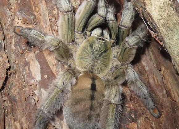 Trinidad chevron tarantula sling