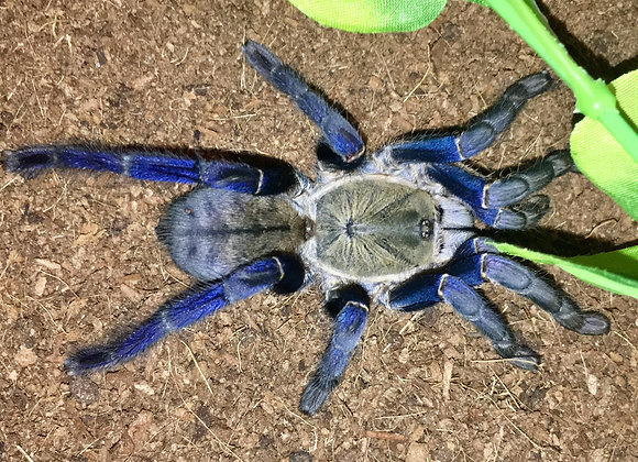 Cobalt blue tarantula slings