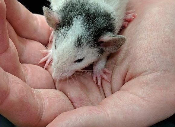Male fancy rat