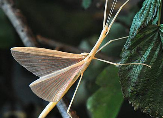 Pink winged stick insect