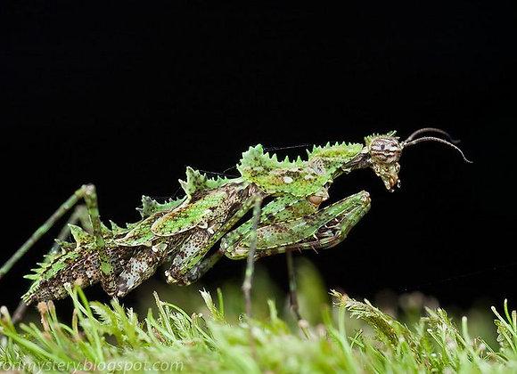 Moss mantis