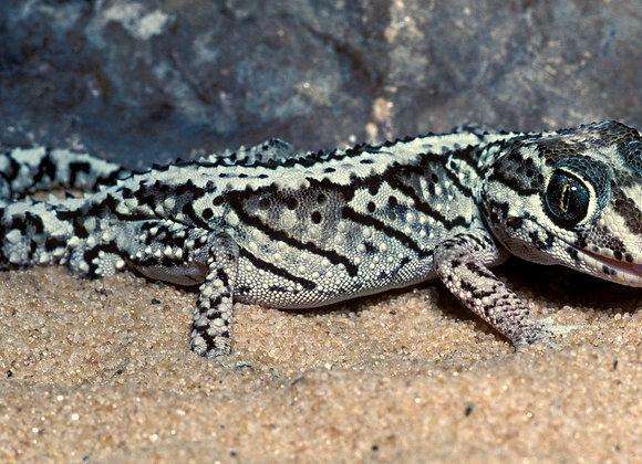 Madagascan ground gecko
