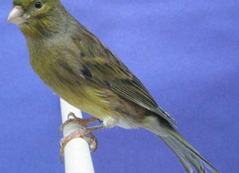 Spanish timbrado canaries