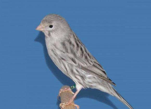 Silver sattinette canaries