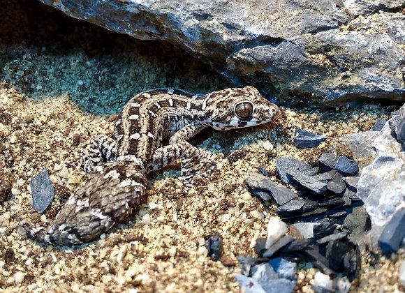 Viper gecko