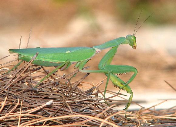 African green mantis