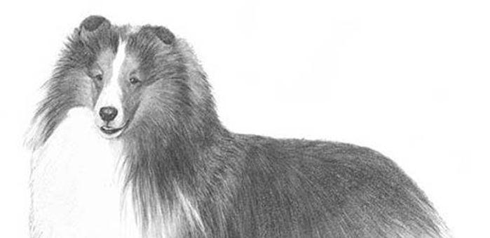 Shetland-Sheepdog-Illo-2.jpg