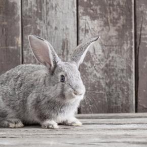 Head nurse Allison Snutch has these top tips for senior rabbit care
