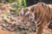 Panna National Park - tiger (public doma