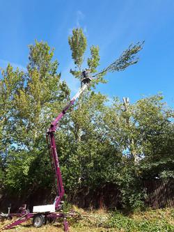 Poplar tree reduction