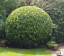 Hedge trimming and shaping