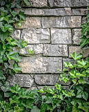 Stone Wall and Ivy.jpg