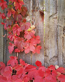 Red Vines and Wood.jpg