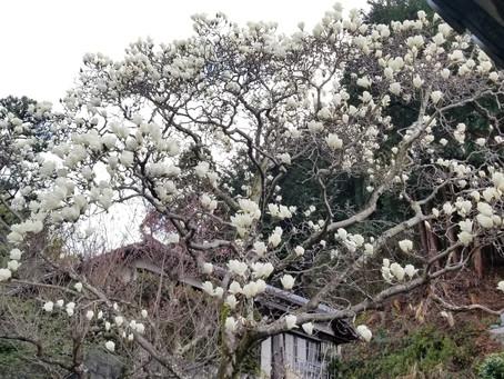 もくれん開花状況 3月3日