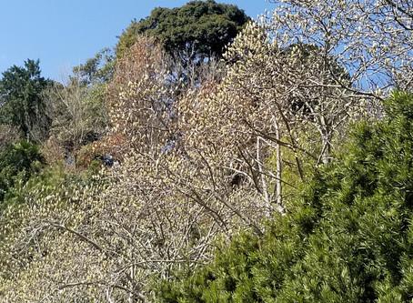 今年は花芽が多いです