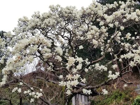 もくれん開花状況 3月6日