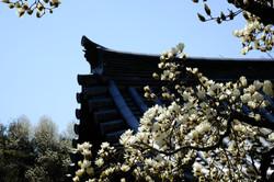 木蓮 十輪寺