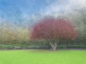 Acer in the Park.jpg