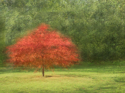 Acer in the Sun